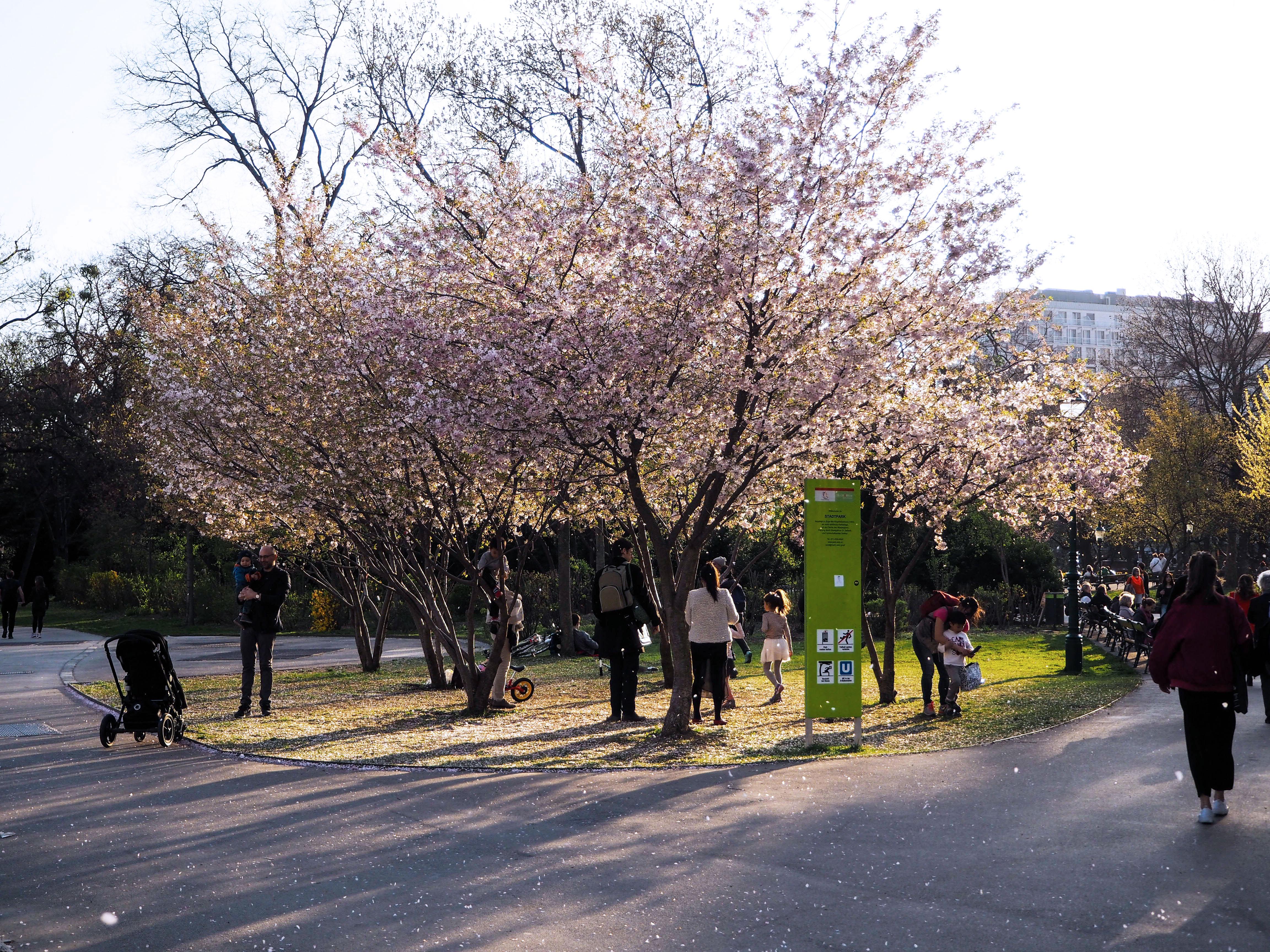 cherry-blossom-sakura-kirschlbüten